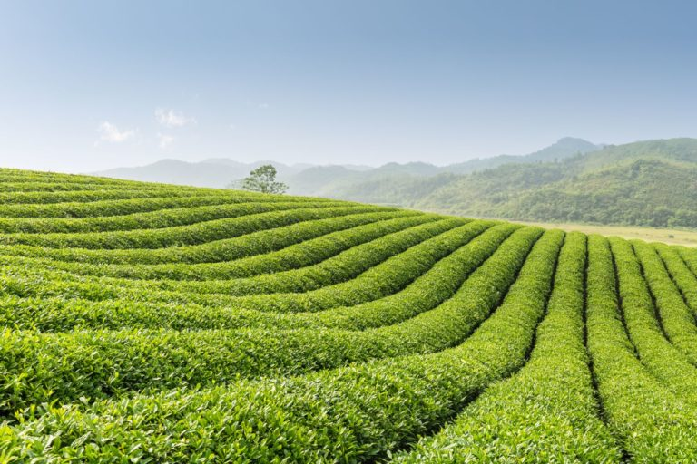 beautiful-tea-garden-EFSGCBV